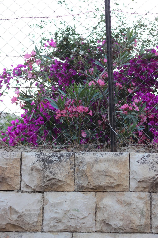 Oleander in Jerusalem