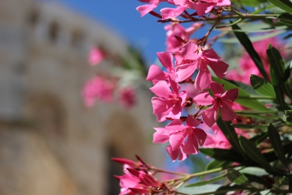 Oleander and a part of the Old City wall