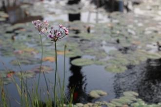 Pond flower