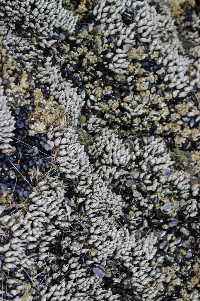 Gooseneck barnacles and pacific blue mussels