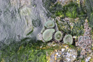 Aggregating sea anemones and sea lettuce