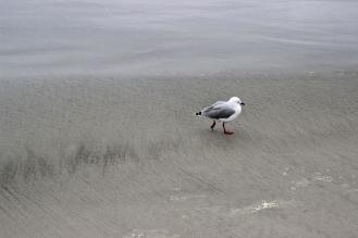 Hey Seagull