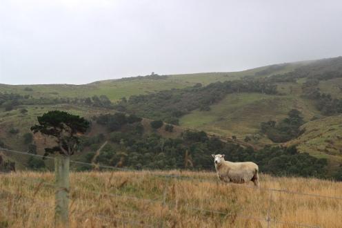 Hey real sheep