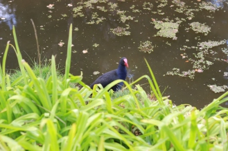 Pekeko! Turns out they're pretty common