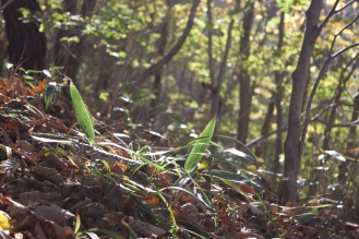 WIld bamboo shoots