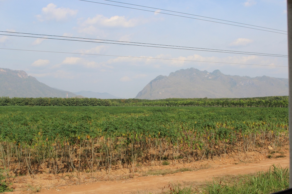 Tapioca plantations